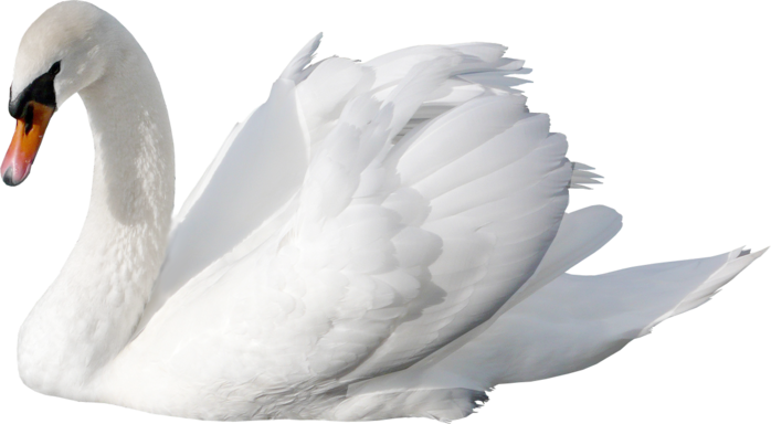 Swan PNG26
