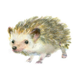 Watercolor Little Hedgehog Painting Cute White Background 67371674
